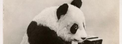 En 1939 le panda star s'appelle Ming