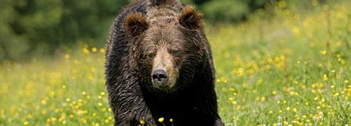Mondial 2018 : la Russie alerte les campeurs étrangers sur la menace des ours