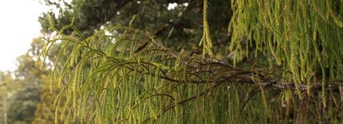 «Pin rimu», un géant néo-zélandais