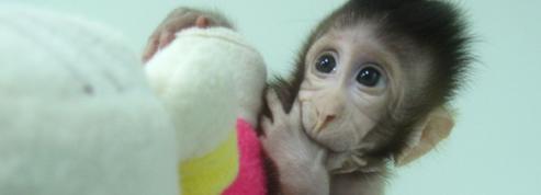 Deux singes clonés en Chine avec la méthode de Dolly