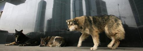 Des milliers de chiens errants abattus en Russie avant le Mondial de football