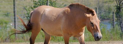 Nouveau mystère sur l'origine des chevaux domestiques