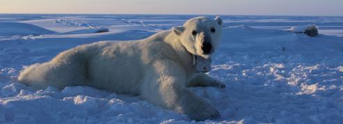 Découvrez la banquise à travers les yeux d'un ours polaire