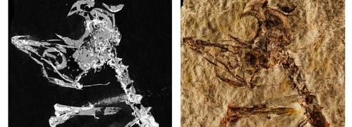 Un fossile de bébé oiseau rarissime, sorti trop tôt du nid il y a 127 millions d'années