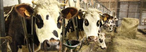 Avec leur «vache à roulettes», des éleveurs laitiers ont trouvé un remède à la crise