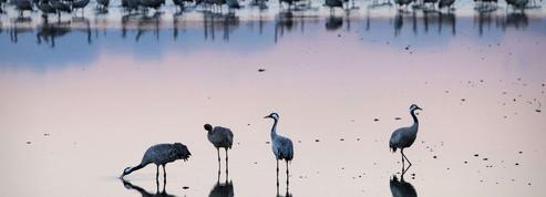 Des oiseaux migrateurs en pleine confusion