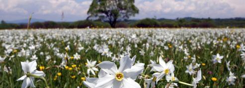 Narcisse, la fleur nombriliste de la mythologie