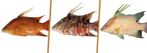 Comment les poissons caméléons voient avec leur peau