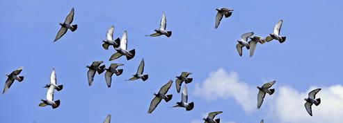Pigeons voyageurs : un entraînement d'athlètes de haut niveau