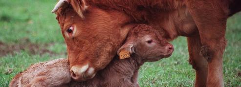 Un abattoir mobile pour lutter contre la souffrance animale