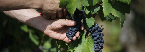 L'appellation vin de France à la recherche de raisins
