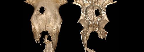 Des vaches pour entraîner les chirurgiens du néolithique ?