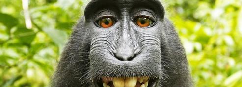 Selfie du singe: pas de droits d'auteur pour le macaque Naruto
