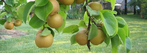 Nashi, croquante poire orientale