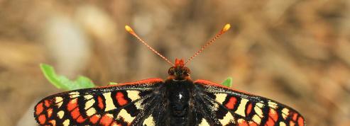 La fable du papillon damier qui n'arrivait plus à évoluer