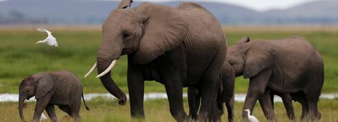 Écouter les vibrations du sol pour suivre les éléphants à la trace