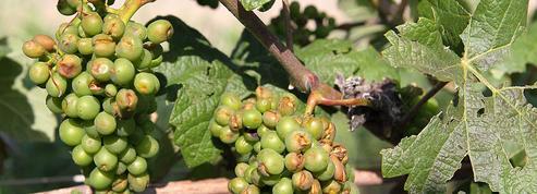 En Champagne, un millier d'hectares entièrement détruit par la grêle