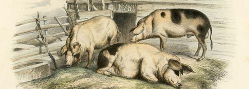Le Diable au porc ,de Monique Zetlaoui: totem, cochons et tabou