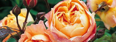 Roses: le parfum revient en force