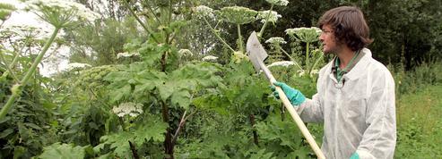 Alerte à la berce du Caucase, une herbe monstrueuse et toxique qui prolifère en France