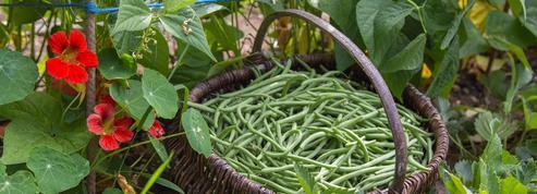 Jardin: il est temps de semer les derniers haricots