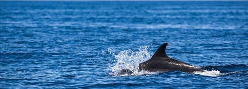 Aires marines protégées : plus de 46.000 km² pour les cétacés en Méditerranée