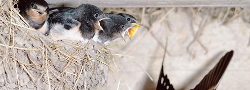 Mais pourquoi les oisillons quittent le nid?
