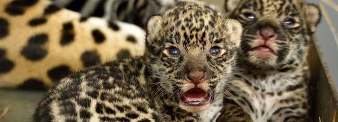 Première sortie des deux bébés jaguars au zoo de Vincennes