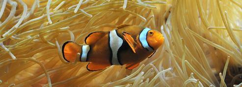 Élucider le mystère des bandes blanches chez les poissons-clowns