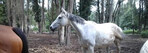 Forte mobilisation pour sauver des chevaux de la boucherie