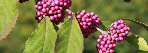 Callicarpe de Bodinier ou arbuste aux bonbons