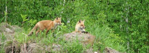 C'est confirmé par la science : les renards mangent bien des chats