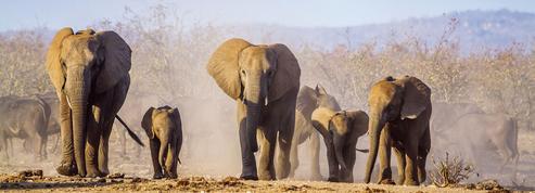 Pourquoi de plus en plus d'éléphants naissent sans leurs défenses