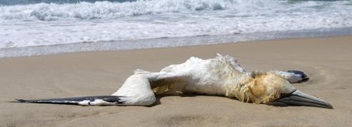 Les oiseaux marins affamés par la surpêche