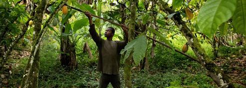Le cacao, l'or de la Côte d'Ivoire