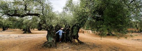 En Espagne, le sauveteur des oliviers millénaires