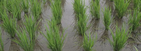 Le clonage s'invite chez les plantes cultivées