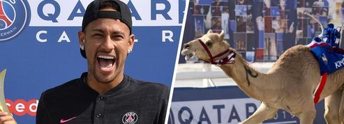 Au Qatar, Neymar remporte une course de dromadaires