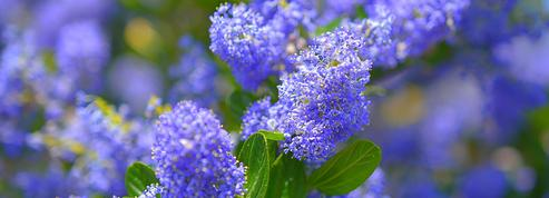 Ceanothe bleu ou lilas de Californie