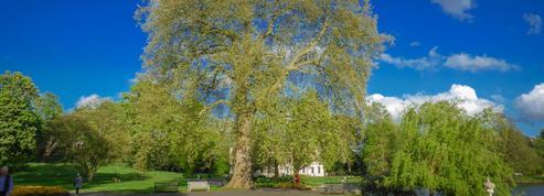 Platane commun, un arbre créé par l'homme