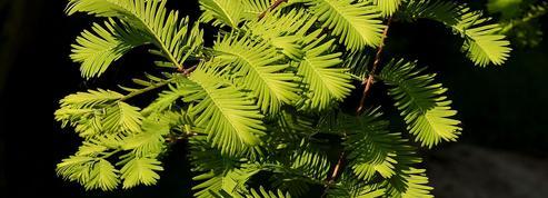 Métaséquoia, conifère des zones humides