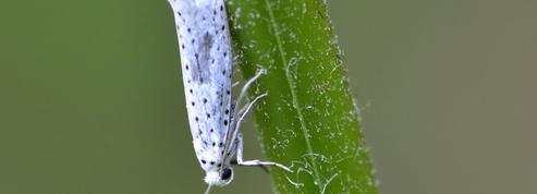 Des papillons qui brouillent le sonar des chauves-souris