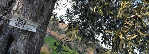 En Espagne, des millers d'oliviers sauvés grâce au parrainage