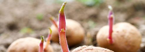 Pomme de terre: plantez des variétés tolérantes au mildiou