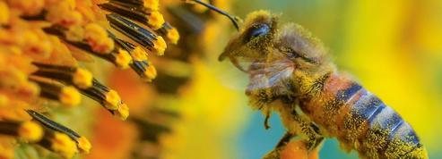 «Sauver les abeilles», la pétition qui ouvre la voie à un référendum en Allemagne