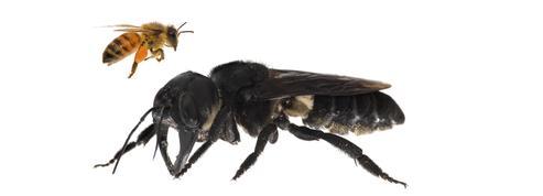 La plus grosse abeille du monde a été retrouvée en Indonésie
