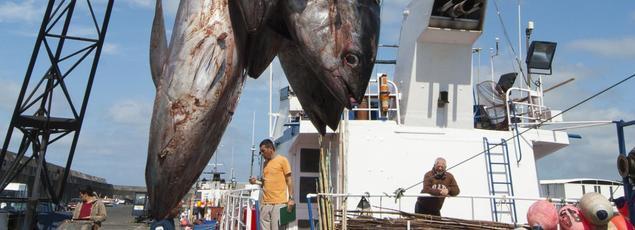 Déchargement d'une pêche de thons. Image d'illustration.