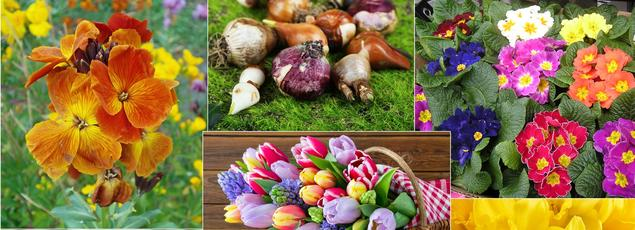 Giroflées, primevères, tulipes, crocus, pâquerettes, narcisses, pensées se plantent dès l'automne.