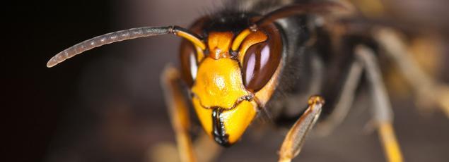 Redoutable prédateur d'abeilles, le frelon asiatique est maintenant présent dans 85 départements français. Photo: Daniel Solabarrieta/Flickr