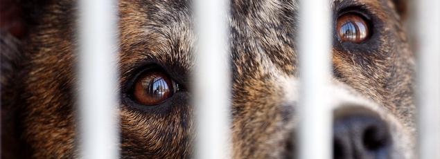Des chiens sont génétiquement modifiés pour naître myopathes pour pouvoir tester des traitements sur eux.